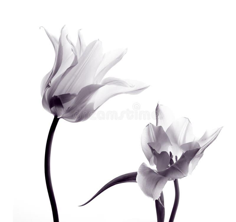 Siluette del tulipano su bianco fotografia stock libera da diritti