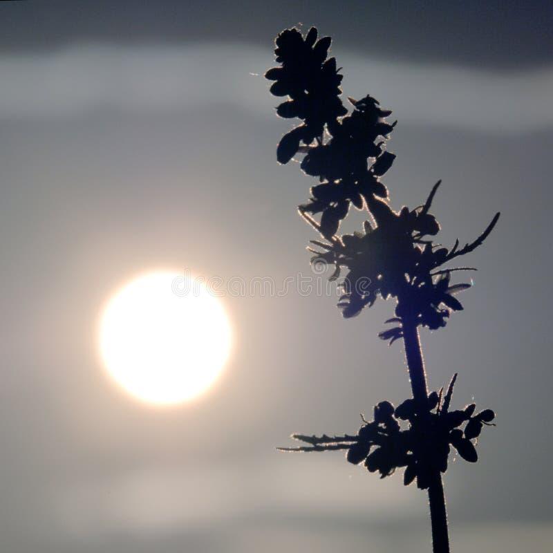 Siluette della cima di giovane canapa contro lo sfondo del cielo di mattina o di sera Cannabis ed il disco luminoso della s immagini stock