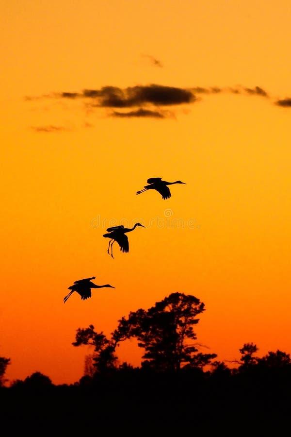 Siluette delle gru di Sandhill al tramonto immagini stock libere da diritti