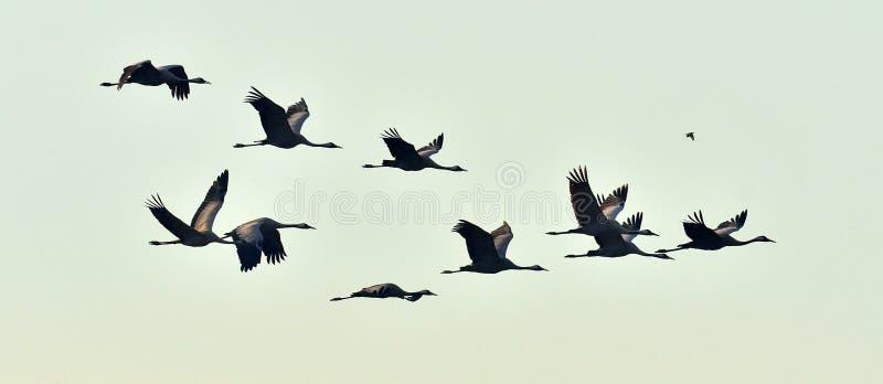 Siluette delle gru in volo Mattina nebbiosa, fondo del cielo di alba fotografia stock