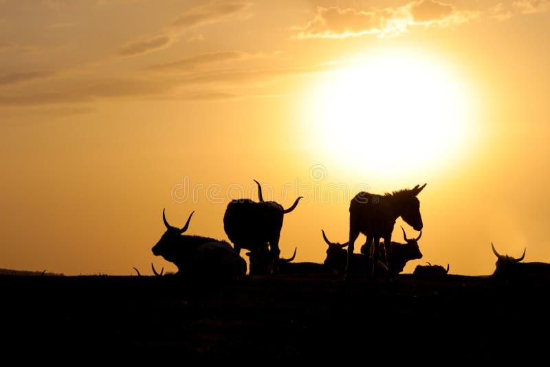 Siluette delle mucche e dell'asino lunghi del corno fotografie stock