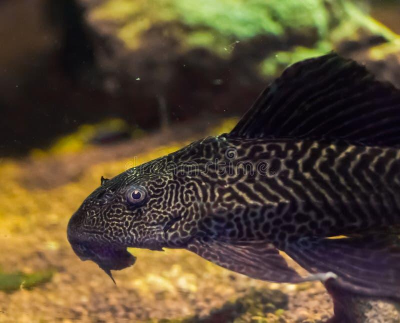 Siluro inferior del tigre del suckermouth del habitante también conocido como pleco común un animal doméstico tropcial de los pes fotos de archivo