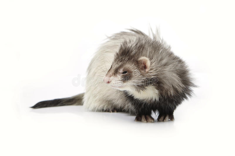 Silver angora ferret on white background posing for portrait in studio. Ferret on white background posing for portrait in studio stock image