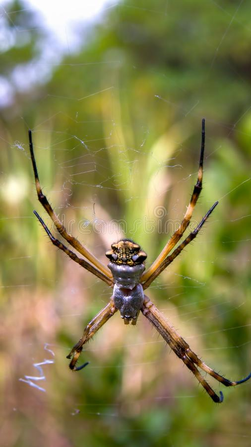 Silver argiope garden spider from the up side stock image
