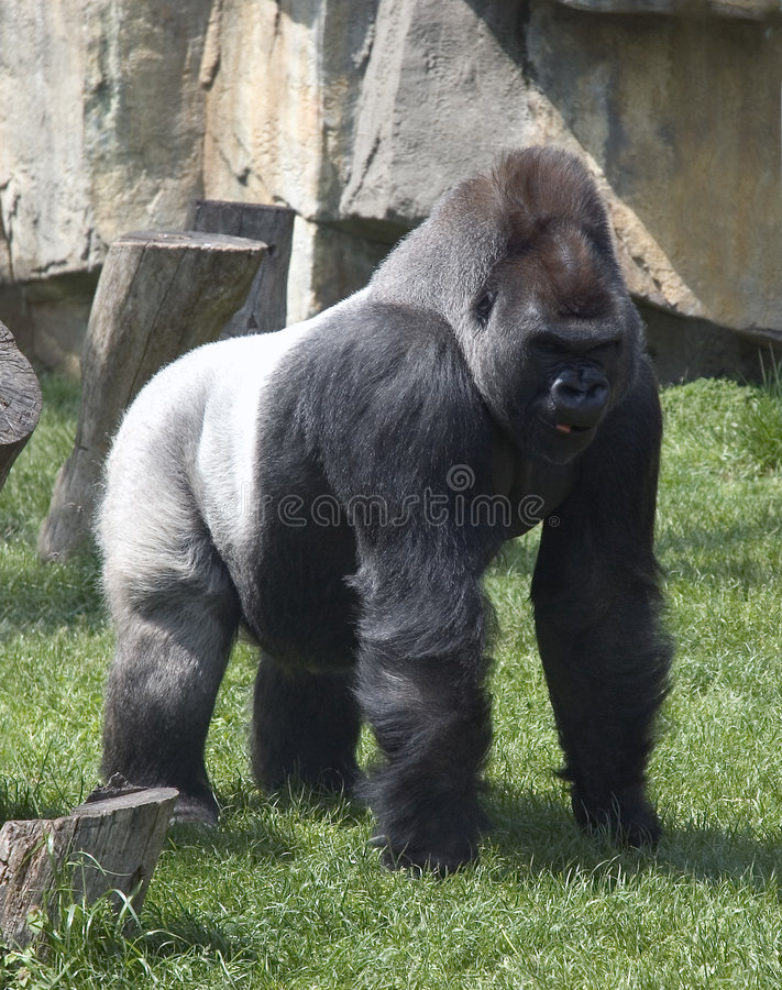Download Silver Back Gorilla stock photo. Image of powerful, animal - 126536