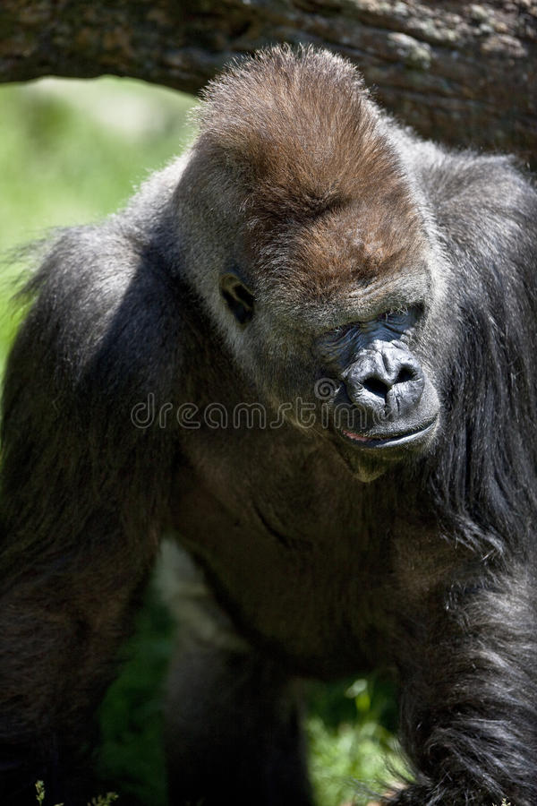 Download Silver back gorilla stock photo. Image of land, animals - 13048130