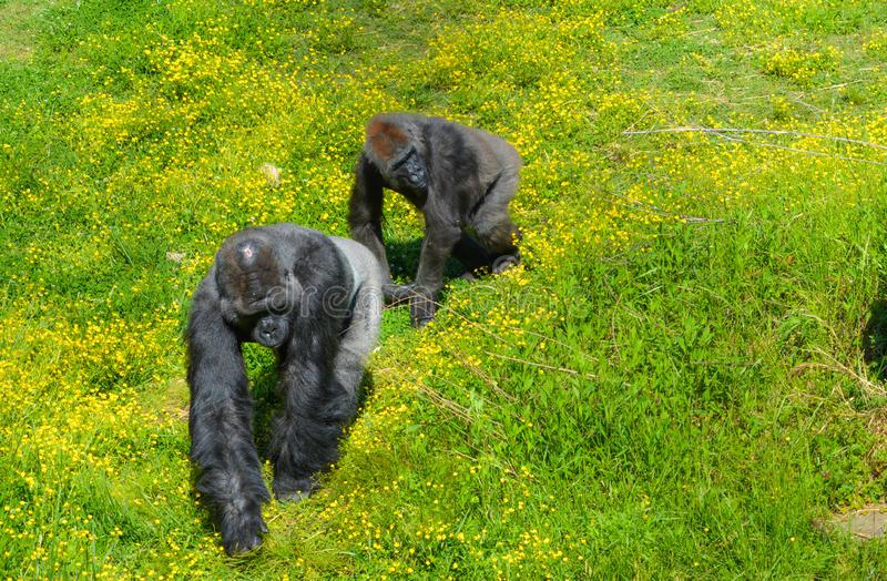 Silver Back Gorillas at Zoo. Two silver back gorillas walking in the sunshine at zoo. Large make and young male following, both looking to their left stock photos