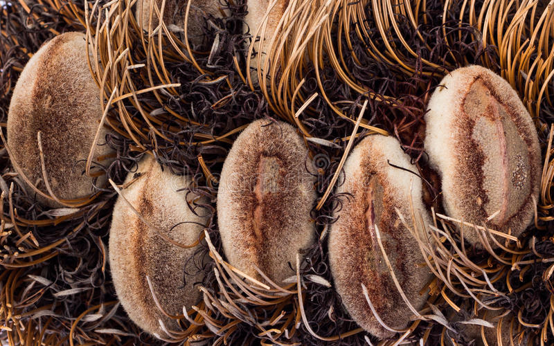 Silver Banksia Seeds Stock Photography