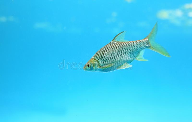 Silver barb swimming in water - fish in aquarium with copy space.  royalty free stock photos