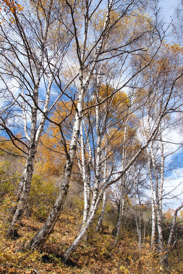 Silver birch royalty free stock photography