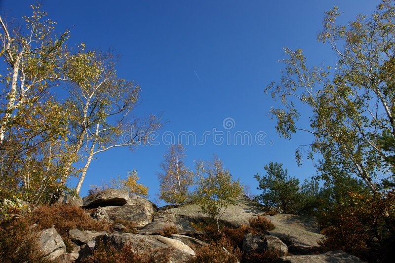 Silver birch in fontainebleau forest stock photography