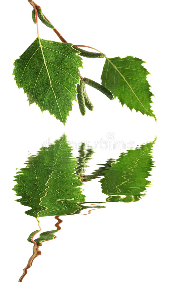 Download Silver Birch Leaves stock image. Image of natural, reflection - 2173313