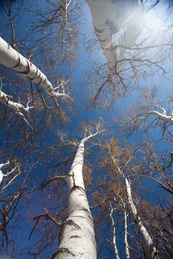 Silver birch tree stock photo