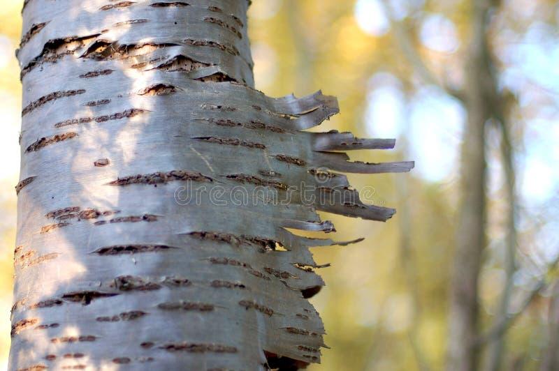 Silver birch tree trunk. Peeling bark on a silver birch tree royalty free stock images