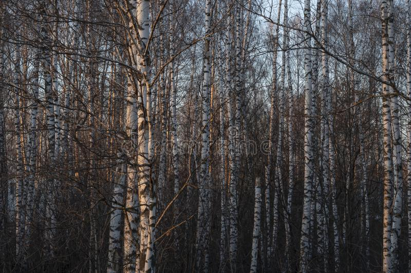 Silver birch trees in the forest in a beautiful warm sunset light. Russia royalty free stock photos