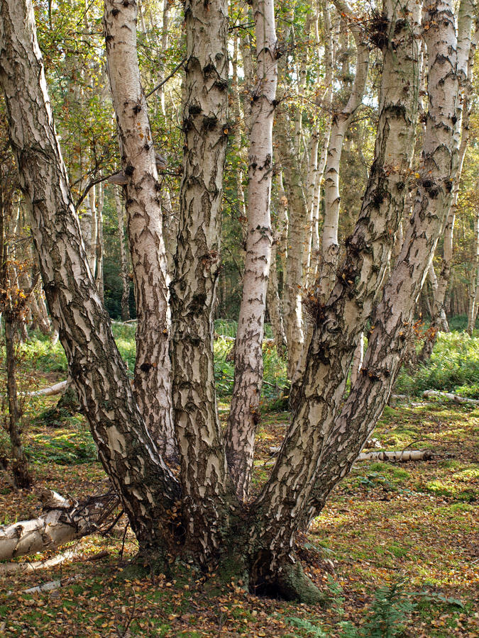 Silver Birch Trees On Holm Fen. Stock Photography