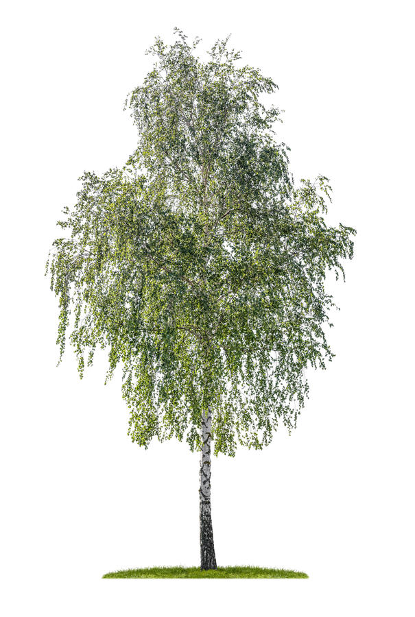 Silver birch on a white background. Isolated silver birch on a white background royalty free stock photo
