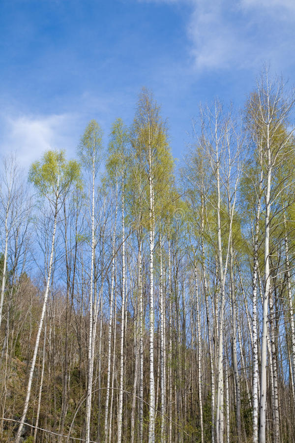 Silver birches. Northern spring, vertical stock photography