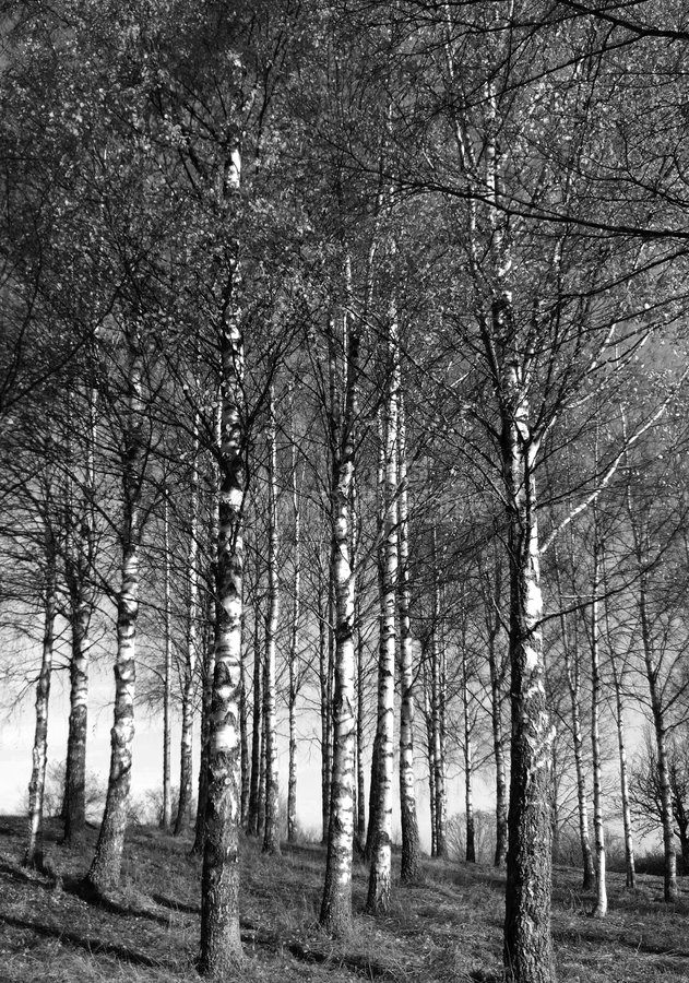 Silver birches. On a fine day in autumn royalty free stock image