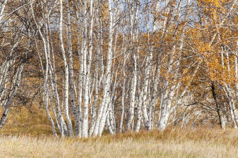 Silver birches. The silver birches in autumn stock image