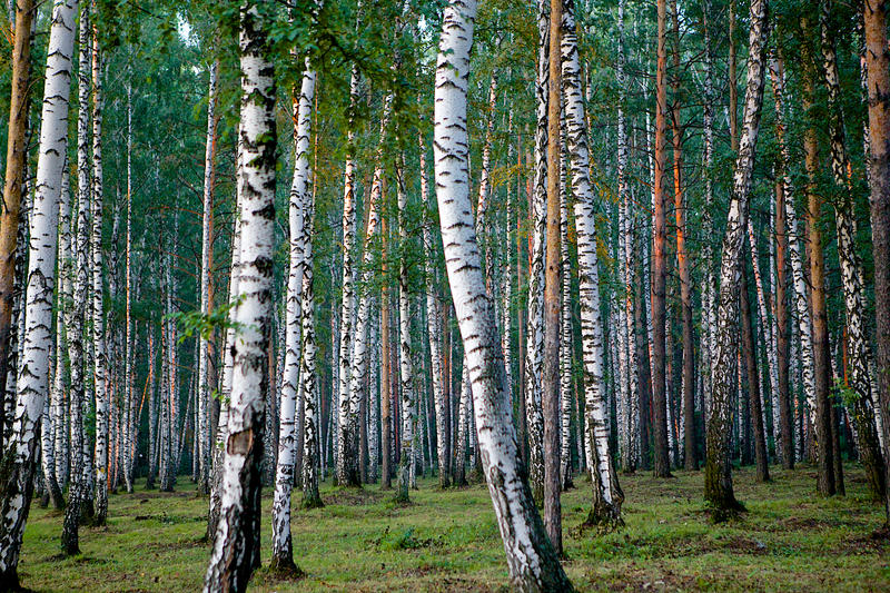 Silver birches in sunset's light. A forest of pine trees and silver birches in sunset's light, Yekaterinburg, Russia stock photos