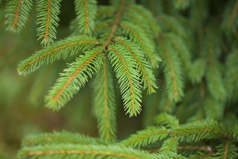 Silver, blue spruce pine, fir tree. royalty free stock image