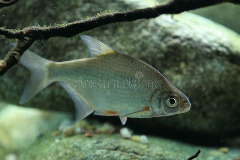 Silver bream. The silver bream also known as white bream royalty free stock photos