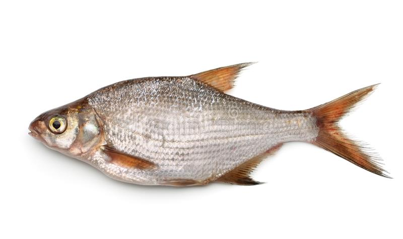 Silver bream. Side view of silver bream isolated on white stock image