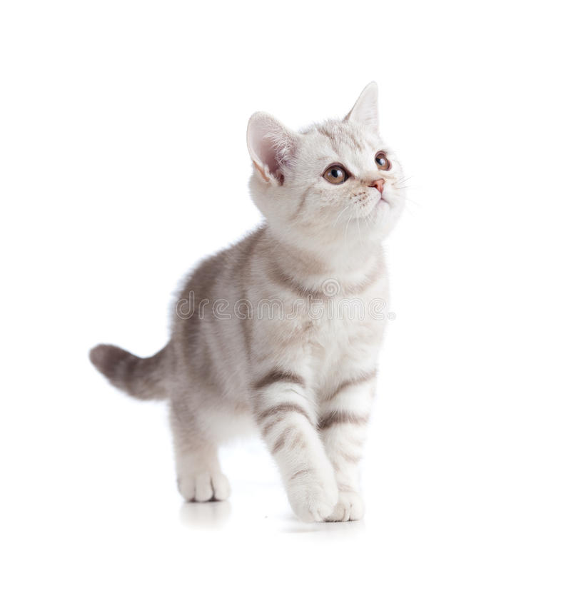 Free Silver British Kitten Studio Shot On White Stock Photos - 24651793