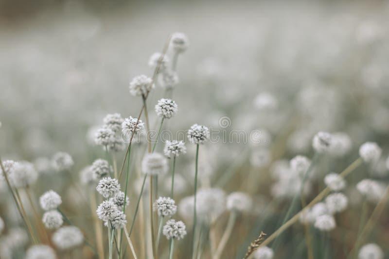 Silver button flower stock photos