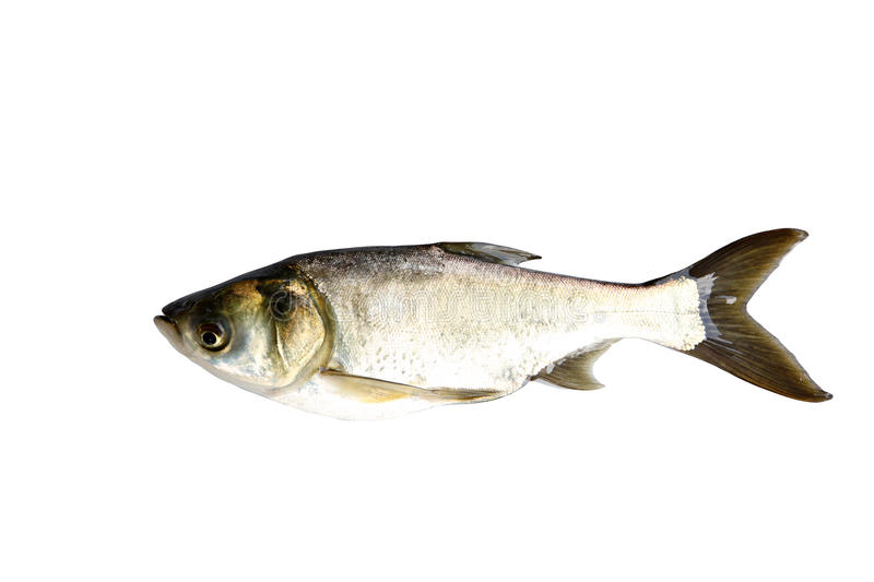 Silver Carp Fish (Hypophthalmichthys Molitrix) isolated. royalty free stock photo