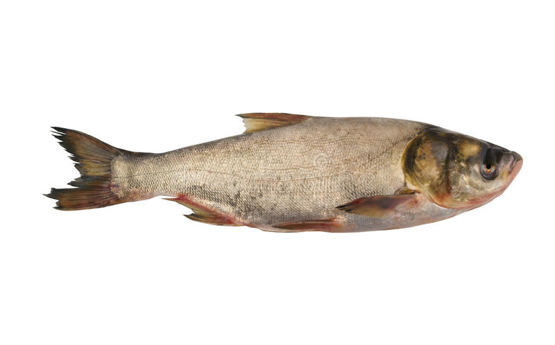 Silver carp fish isolated stock photography
