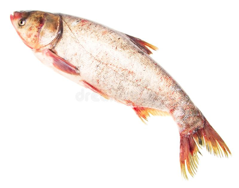 Silver carp fish isolated on white background royalty free stock images