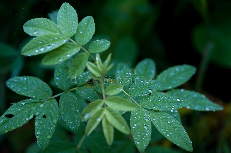 Silver dew on foliage. Green plant with silver rain drops in the forest royalty free stock photo