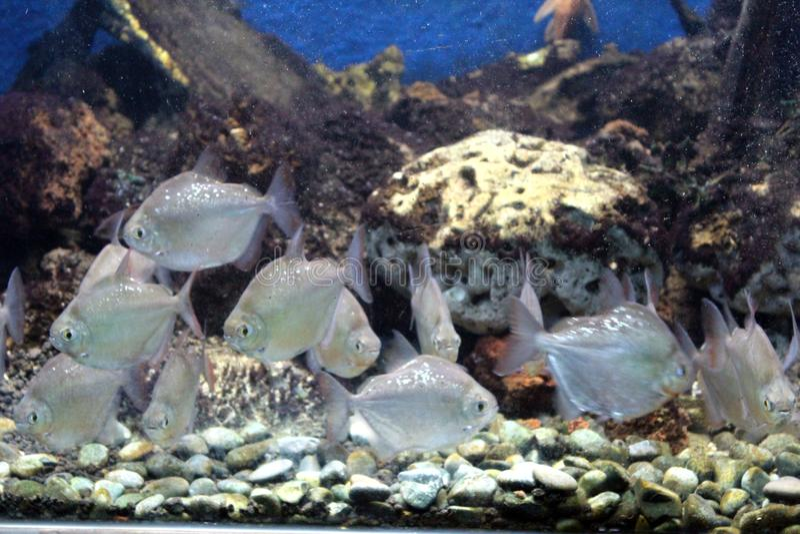 Silver dollar fish royalty free stock photos