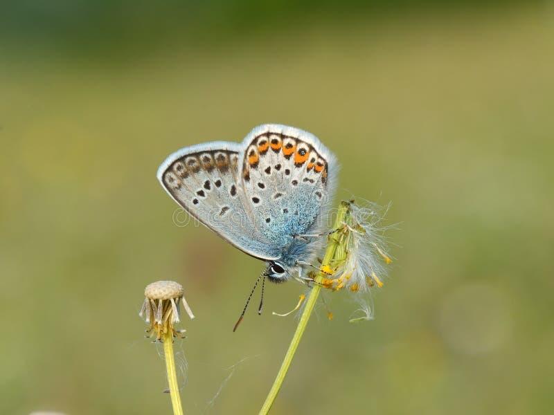 Silver-dubbad blå fjäril - Plebejus argus royaltyfria bilder