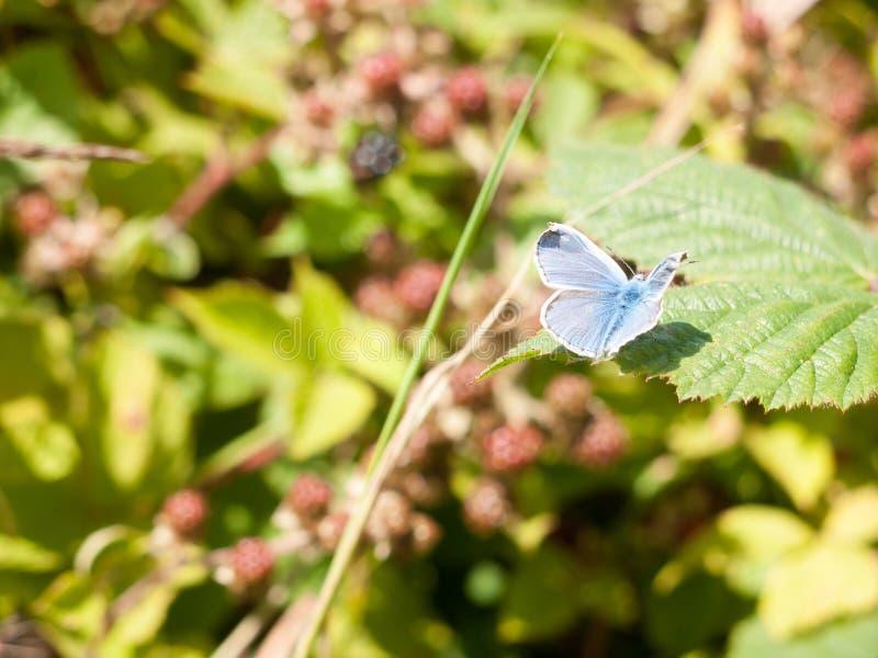 Silver-dubbad blå fjäril & x28; Plebejus argus& x29; På den fulla vingen för blad royaltyfri fotografi