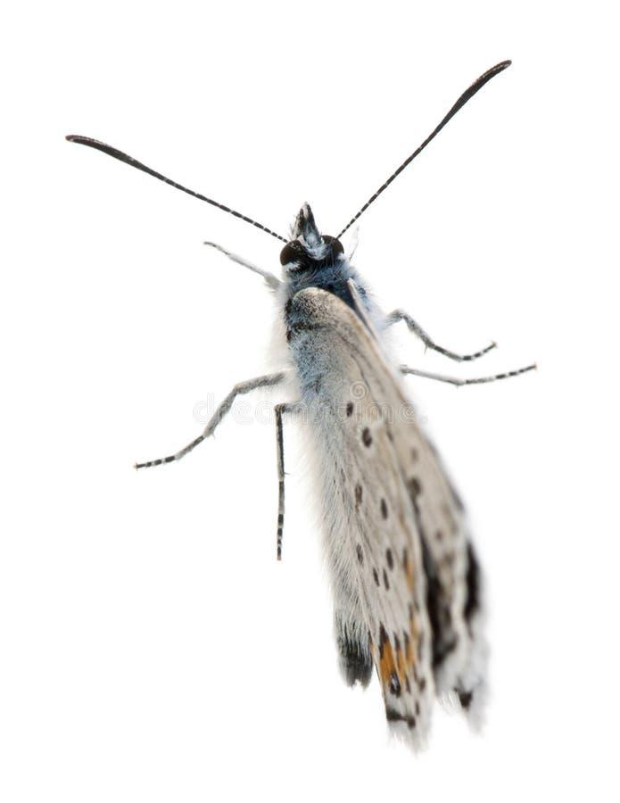 Silver-dubbade blått, Plebejus argus - art av Lepidoptera som också kallas Hairstreakfjäril fotografering för bildbyråer