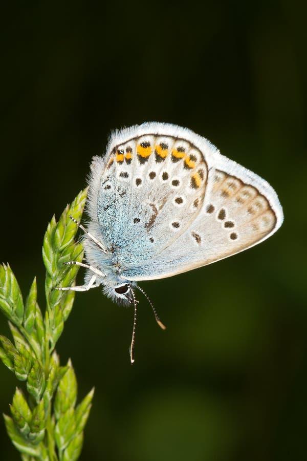 silver för argus dubbad blå fjärilsplebejus arkivfoton
