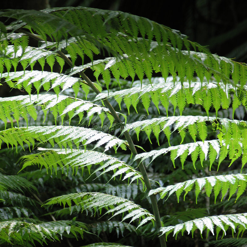 Silver fern detail. A silver fern leaf glints in the sunlight. Silver ferns are the emblem of New Zealand and were used by Maori to mark their tracks royalty free stock photo