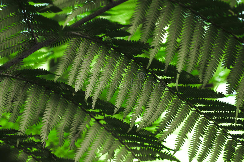 Silver Fern fronds. MCU- Underside of the fern symbolic of New Zealand, known as the Silver Fern because of the white appearance. Lush green fertile fern forest stock photo