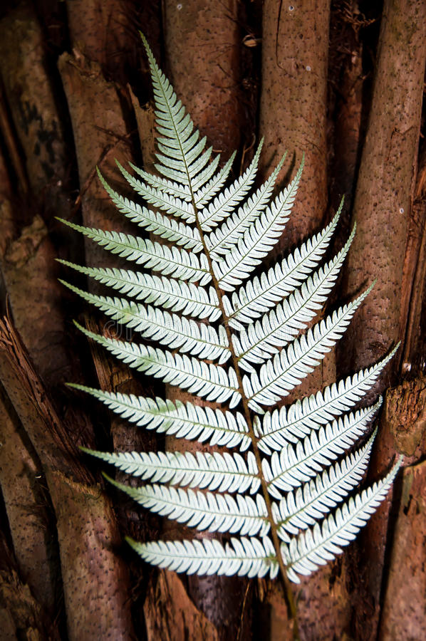 Silver Fern New Zealand. New Zealand silver fern against punga trunk iconic native plant for representing New Zealand particularly symbolic usage in sport royalty free stock images