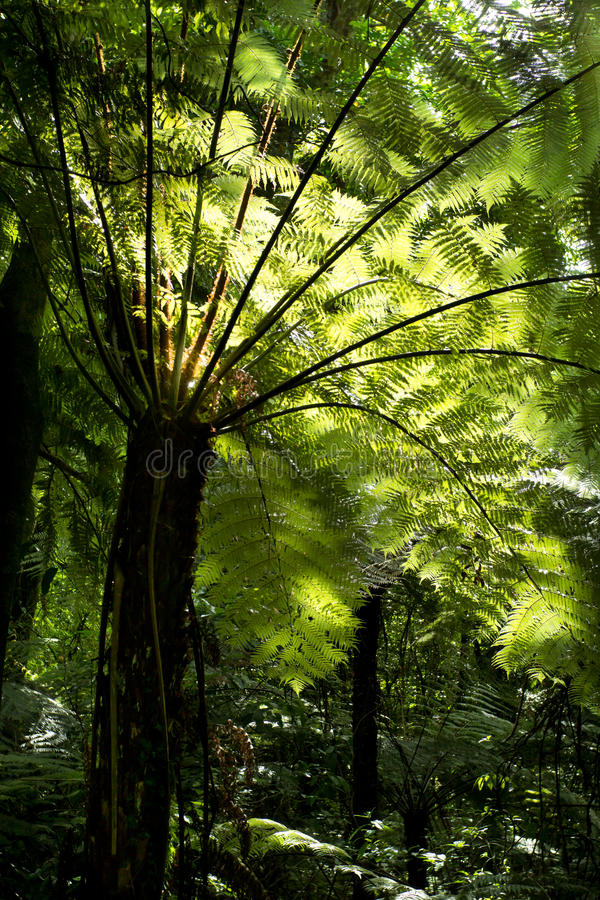 Silver Fern - Ponga Tree stock photos