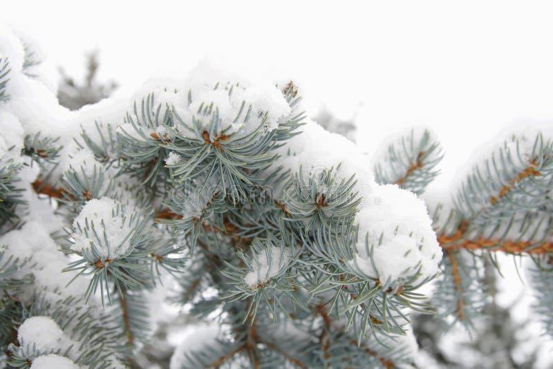 Silver fir-tree branch royalty free stock photo