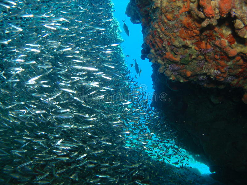 Silver fish on reef stock photography