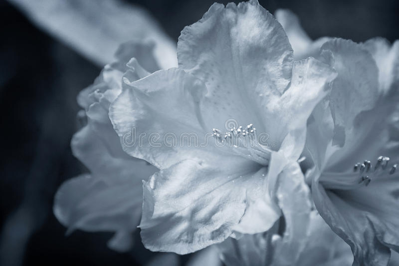 Download Silver Flowers stock image. Image of petals, hibiscus - 28777201