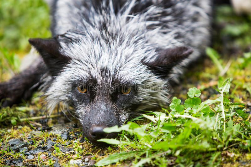 Silver Fox Laying on Ground stock photo