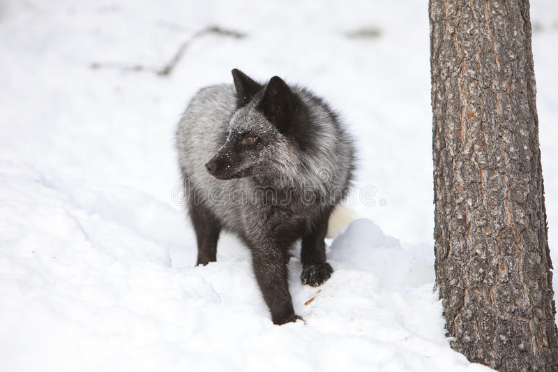Silver fox looking left in the snow. Silver fox looking onward in the snow royalty free stock images