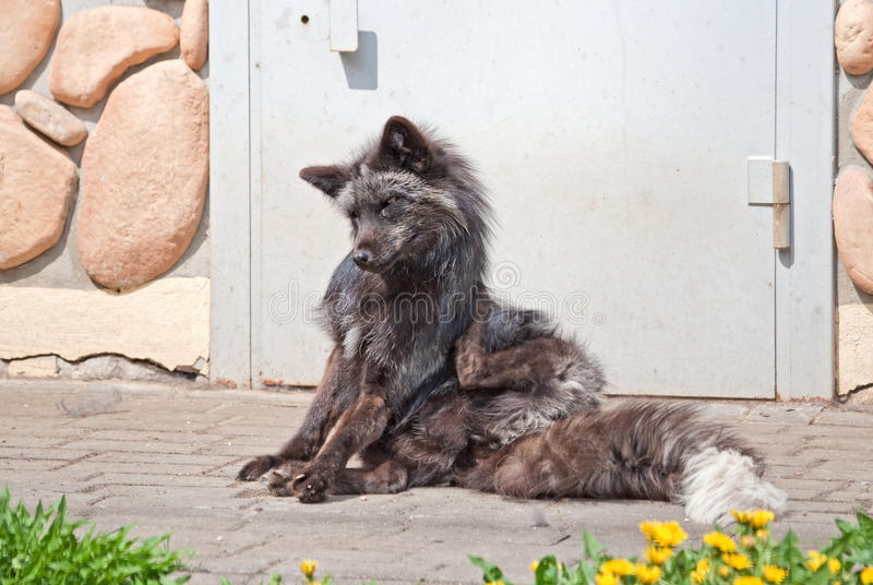 Download A Silver Fox Scratches Itself Stock Photo - Image: 31381556
