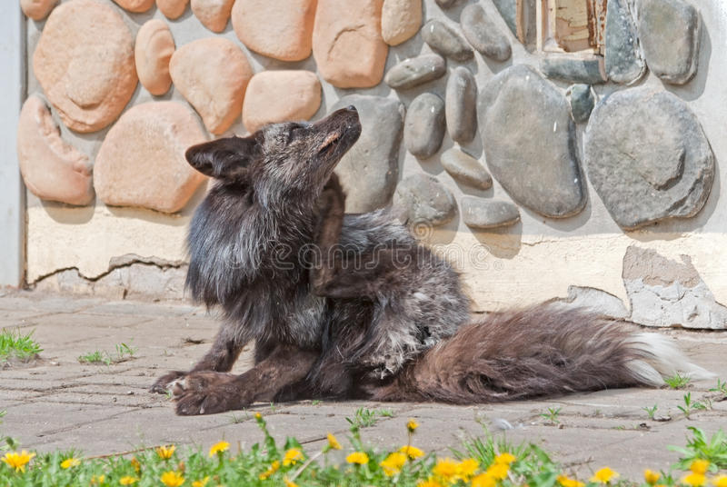 Download A Silver Fox Scratches Itself Stock Image - Image of canine, carnivore: 30191787